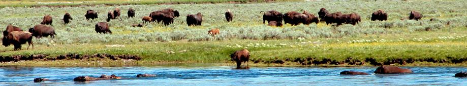 buffalo-banner