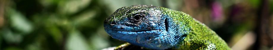 lizard-banner