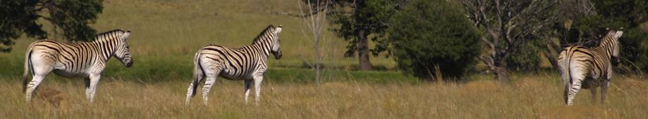 zebra-banner